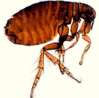 pulga5