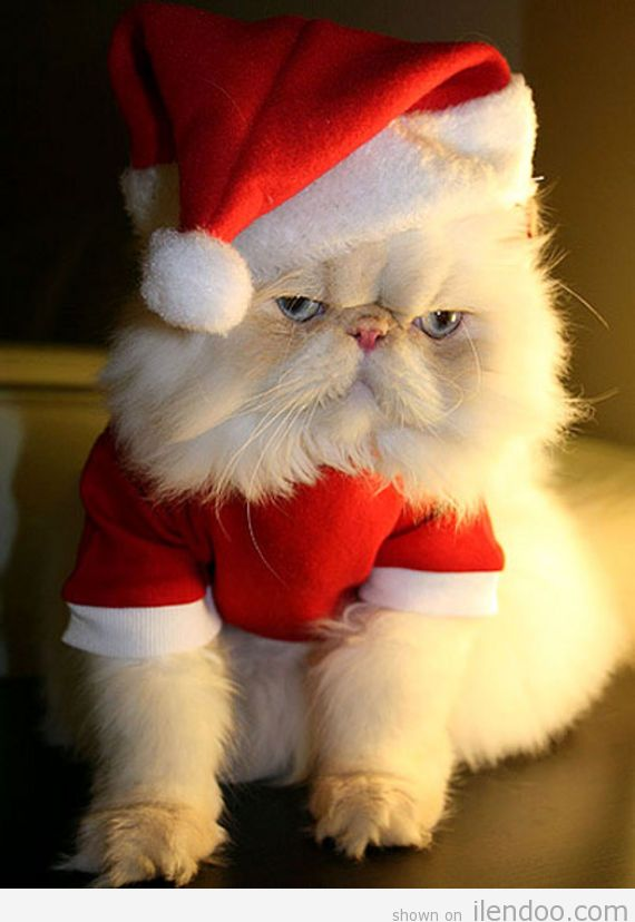 2012-Grumpy-Santa-Claus-Christmas-Cat-on-www.ilendoo.com_