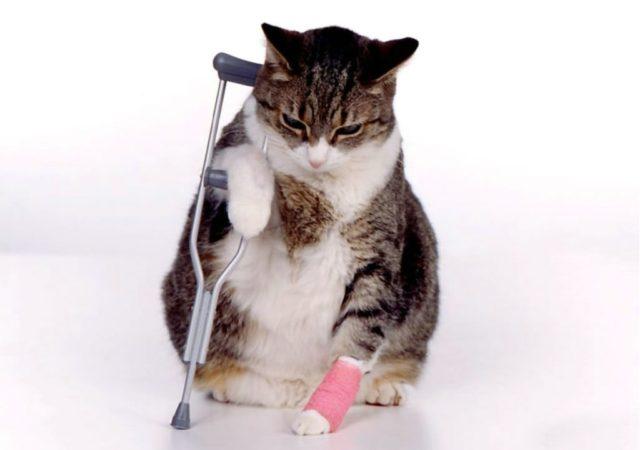 gato-ferido