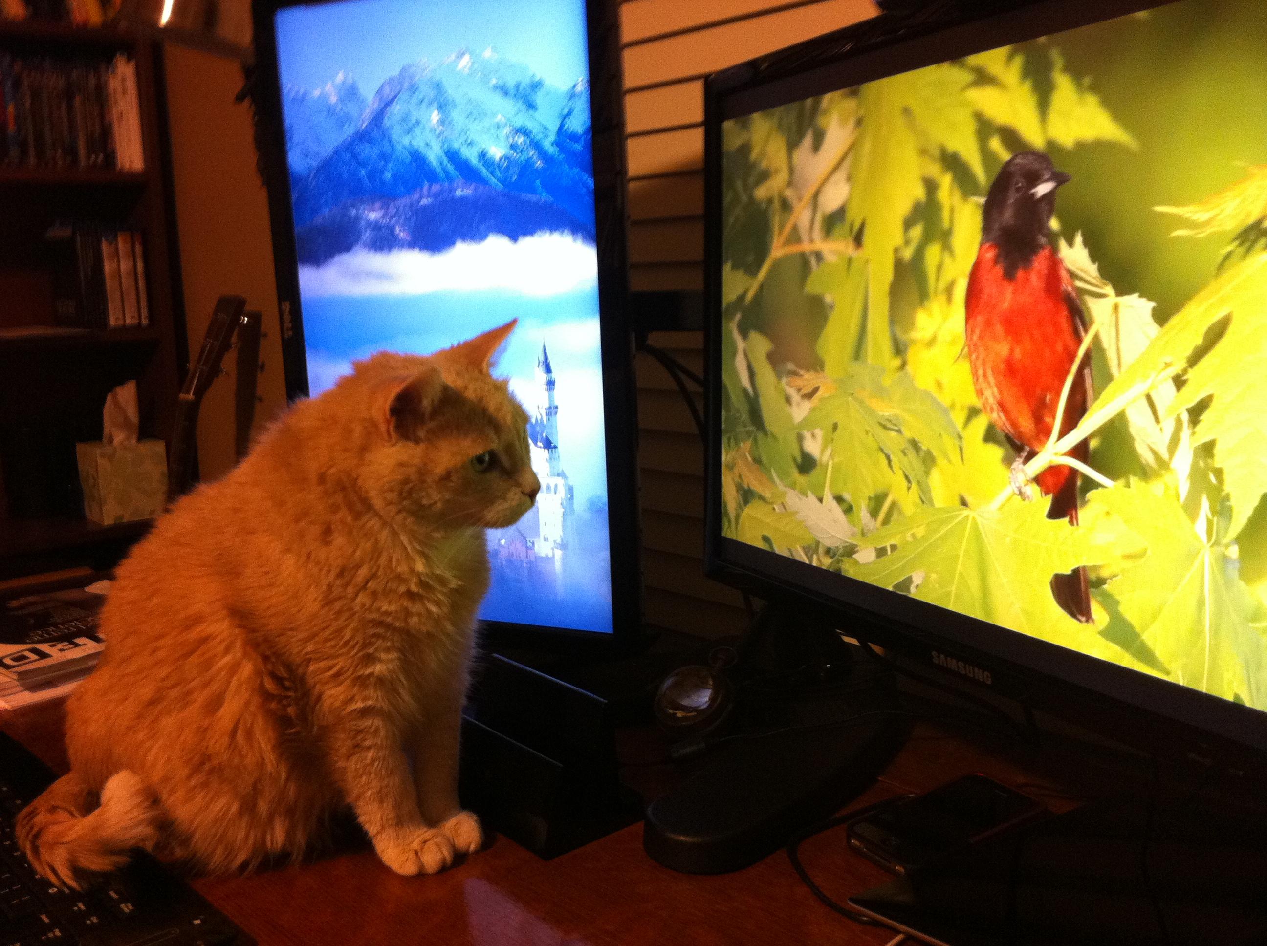 gato-vendo-tv