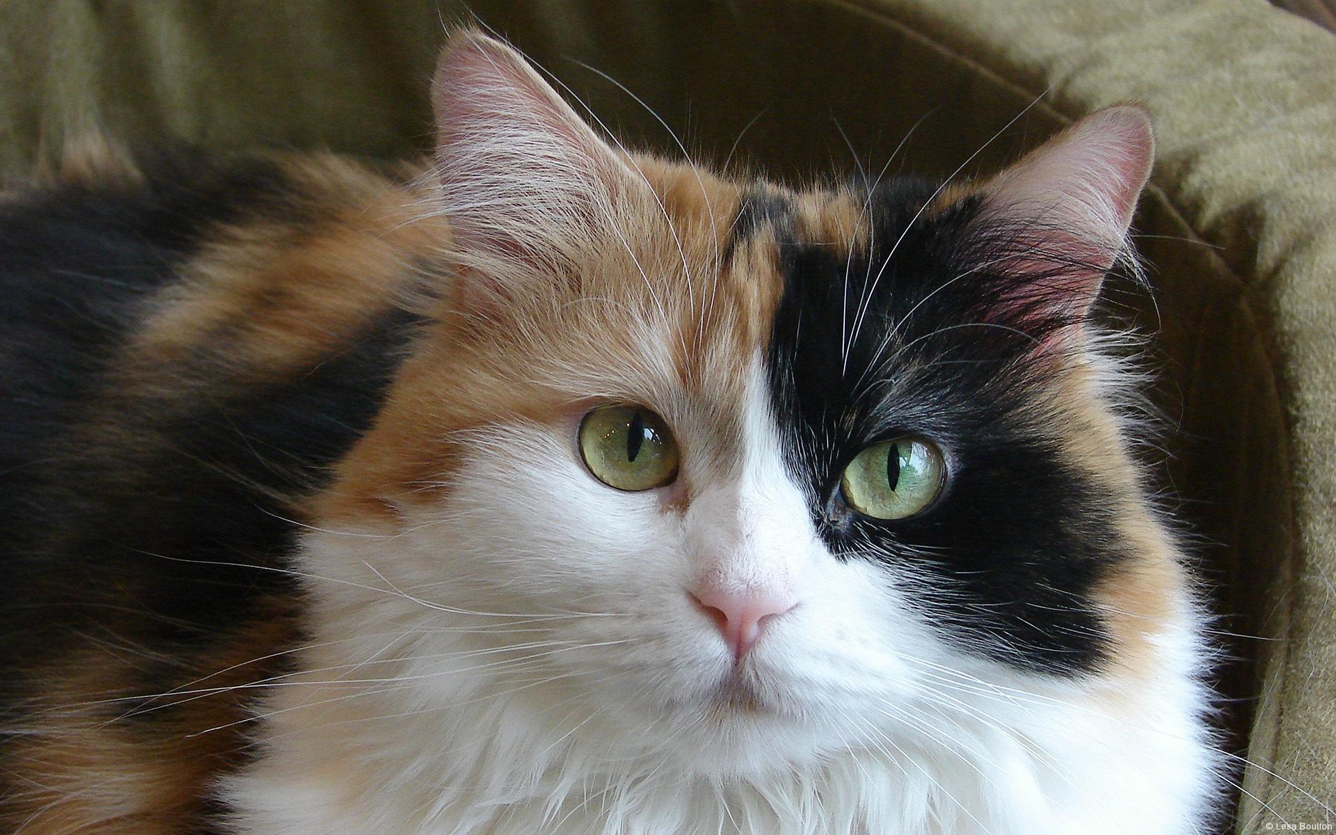 Tri-color-cat_1920x1200